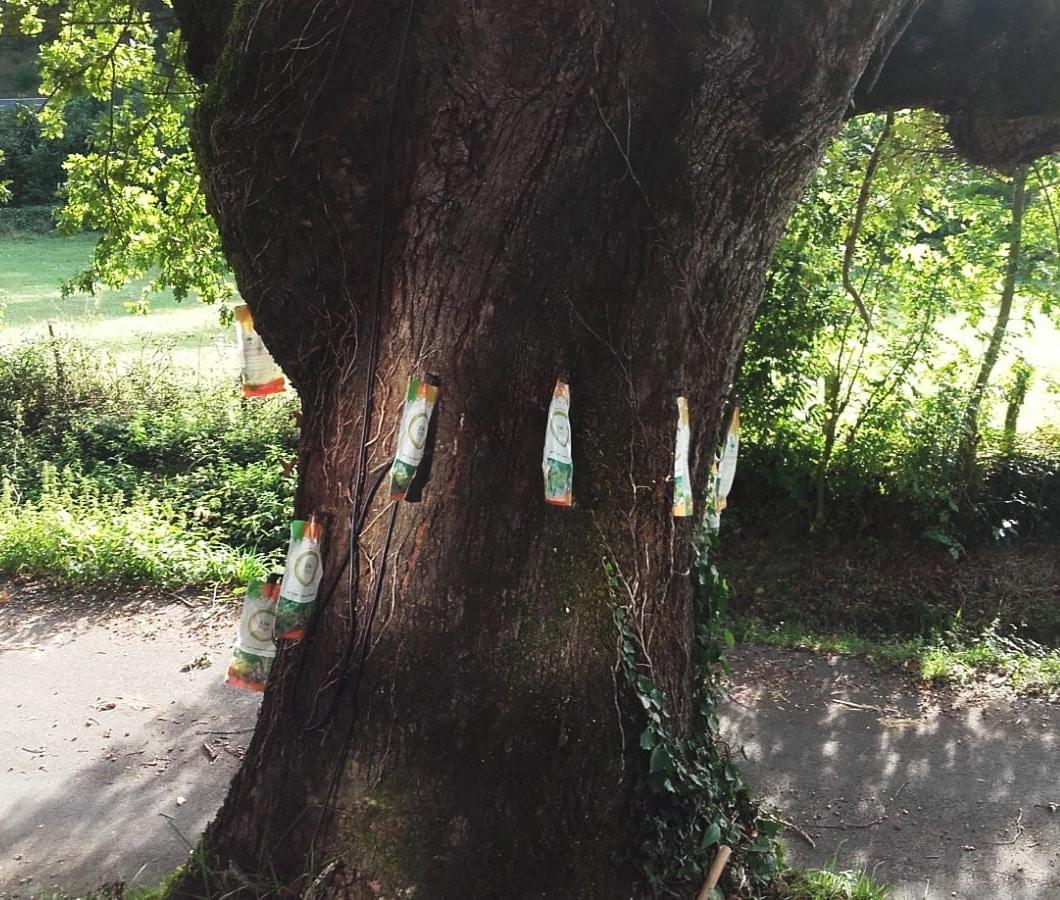 Revitalizando árboles de 400 años con XileMax