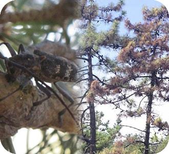 pino con nematodo del pino